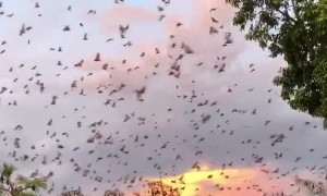 Flying Foxes Fill Evening Sky