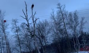 Eagle Picks Up a Pike