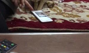 Cute Cat Plays on Smartphone