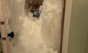 Dog Wades Through Deeps Snow to Retrieve Ball