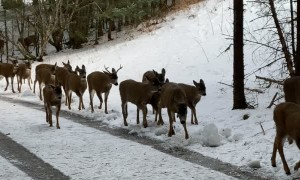 Herd of Kodiak Deer Congregate against the Cold