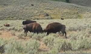 Male Bison Fighting in Yellowstone