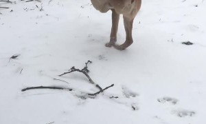 Two Legged Dog Takes a Stroll Through the Snow