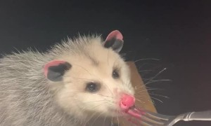 Possum Feasts on Jelly From a Fork