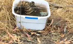Echidna Keeps Clean in Canberra