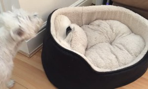 West Highland Terrier dogs play hilarious game of peek-a-boo