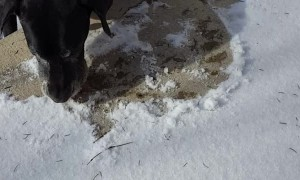 Determined dog is a snow removal expert, although it can take a while!