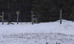 Bighorn Sheep Lamp Flips Through Fence