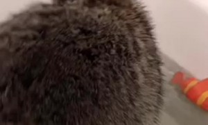 Raccoon Enjoys Some Time in the Tub