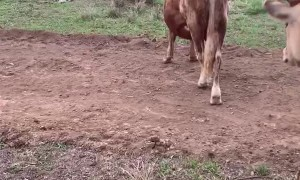 Pet Cows Playing Around