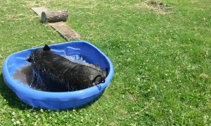 Happy Pig Plays in Pool