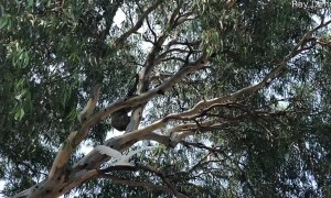 Cockatoo and Koala Argue over Treetop Position