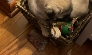 Pug Puppy Chooses Basket over Toys