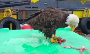 The Antics of Eagles in Unalaska