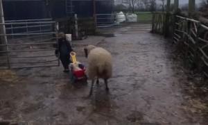Lambs in a Wagon