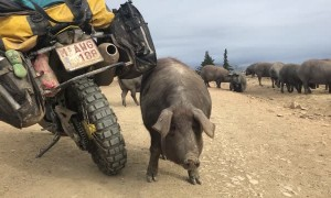 Pig Uses Motorcycle as Backscratcher