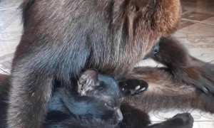 Howler Monkey Cuddles and Grooms Feline Friend