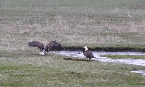 Elusive Duck Evades Multiple Eagles