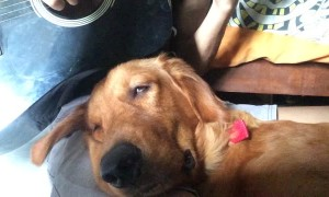 Adorable Dog Gets Drowsy to Guitar Serenade