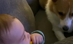 Baby Giggling While Playing with Corgi