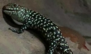 Skink Gives Birth to Live Young