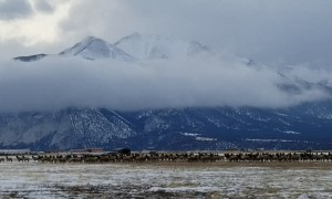 Elk Herd Migrates Beneath Majestic Mountain