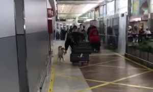 Excited Jack Russells Greet Owner In Airport Arrivals Lounge