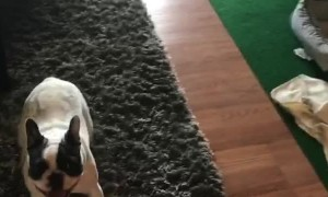 Playing Fetch With A Frenchie