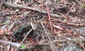 Eucalyptus Trees Foaming After Soaking Rain