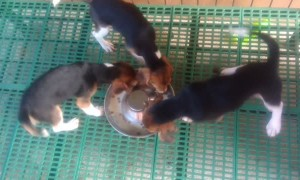 Beagles Take Breakfast in Turns