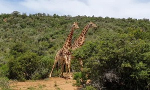 Giraffes Necking in Eastern Cape
