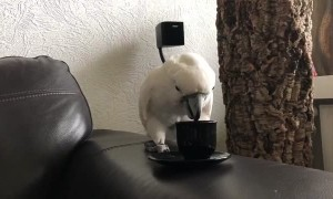Harley the Cockatoo Takes Her Coffee Break