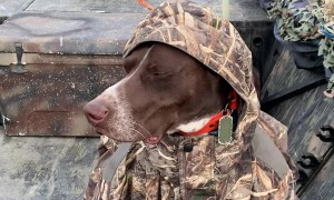 German Short-Haired Pointer Doesn't Let Cold Weather Ruin His Hunt