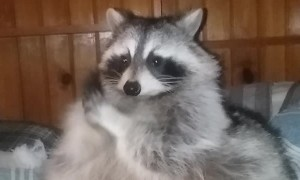 Raccoon Warms Her Hands on a Cold Day