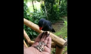 Wild tropical bird eats out of human's hand in epic slow motion