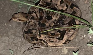 Timber Rattlesnake Unraveling in Texas