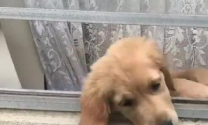 Golden Retriever puppy is overly-excited to see her owner