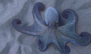 Octopus Shows off Hypnotic Color Change