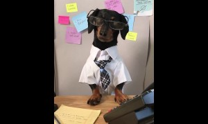 This nerdy dachshund is the best boss you can have