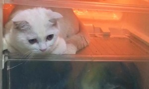 Cat Caught Hiding in Fridge