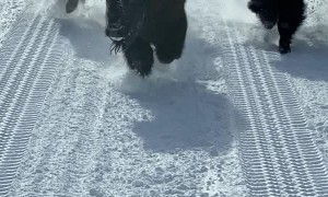 Bison Stampede Around Bus in Yellowstone