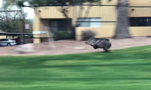Musk Hog in a Hurry