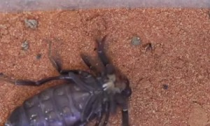 Time-Lapse of Scorpion Shedding Exoskeleton
