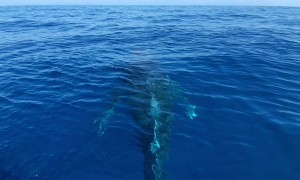 Humpback Whales Mugging Near Boat