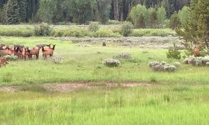 Adolescent Grizzly Hunts Elk Herd