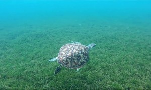 Beautiful Sea Turtle Swims Along the Sea Floor