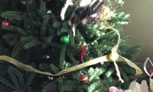 Curious Cat Has Trouble Descending Christmas Tree