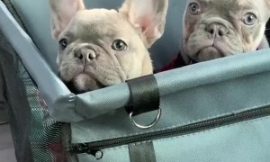 Cute frenchbulldogs have a good time together