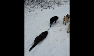 Pet otter joins pair of pups for lovely walk in the snow