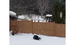 Dog leaping in the snow looks funnier when clip is reversed